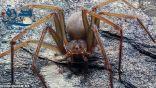 نوع جديد من العناكب لدغته تؤدي إلى تعفن الخلايا البشرية